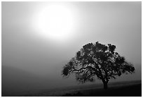 Sun, fog and oak tree, San Joaquin Valley. California, USA (black and white)