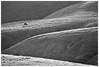 Cow on hilly pasture, Southern Sierra Foothills. California, USA (black and white)