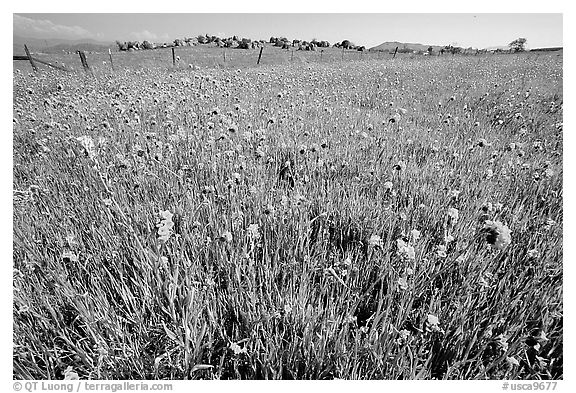 Wildflowers and fence, Central Valley. California, USA (black and white)