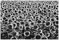 Sunflowers, Central Valley. California, USA (black and white)