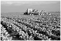lettuce harvest, Salinas Valley. California, USA ( black and white)