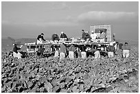 Farm workers picking up salads, Salinas Valley. California, USA ( black and white)
