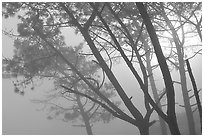 Pine trees in fog, La Jolla. La Jolla, San Diego, California, USA ( black and white)