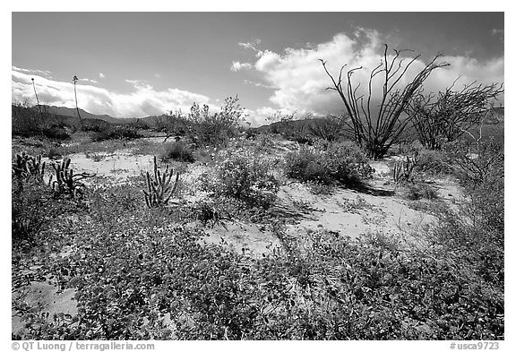 Desert wildflowers and Ocatillo. Anza Borrego Desert State Park, California, USA (black and white)