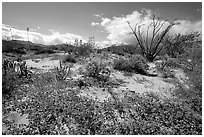 Desert wildflowers and Ocatillo. Anza Borrego Desert State Park, California, USA ( black and white)