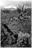 Cactus in cresote brush in bloom. Anza Borrego Desert State Park, California, USA ( black and white)
