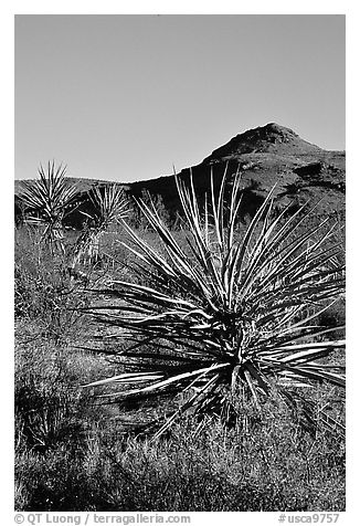 Yuccas and Cima Mountains. Mojave National Preserve, California, USA (black and white)