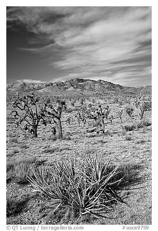 Yuccas, Joshua Trees and Cima Mountains. Mojave National Preserve, California, USA (black and white)