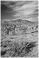 Yuccas, Joshua Trees and Cima Mountains. Mojave National Preserve, California, USA ( black and white)