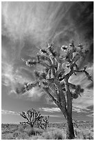Joshua Trees and clouds. Mojave National Preserve, California, USA ( black and white)
