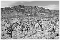 Joshua Trees and Cima Mountains. Mojave National Preserve, California, USA (black and white)