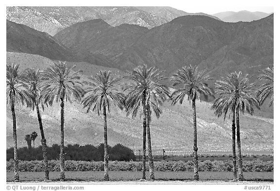 Palm trees and fields in oasis, Coachella Valley. California, USA (black and white)