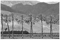 Palm trees and fields in oasis, Coachella Valley. California, USA ( black and white)