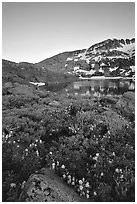 Flowers near Winnemucca Lake, sunset. Mokelumne Wilderness, Eldorado National Forest, California, USA ( black and white)