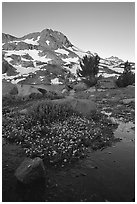 Flowers and Round Top Mountain, sunrise. Mokelumne Wilderness, Eldorado National Forest, California, USA ( black and white)