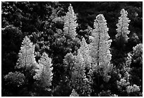 Backlit trees in the spring, Merced River gorge, Sierra National Forest. California, USA (black and white)
