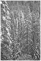 Pine trees with fresh snow, Eldorado National Forest. California, USA (black and white)