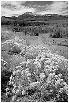 Flowering Sage and Sierra, Conway summit. California, USA (black and white)