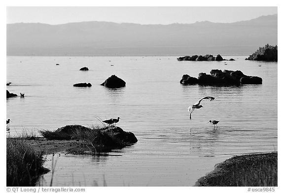 Migratory birds. Mono Lake, California, USA (black and white)