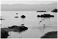 Migratory birds. Mono Lake, California, USA ( black and white)