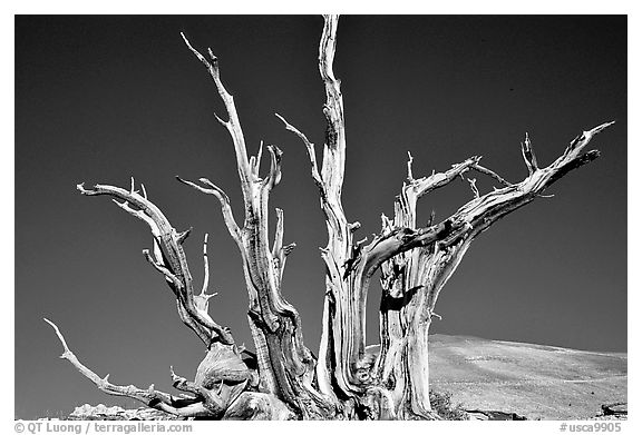 Bristlecone Pine tree squeleton, Patriarch Grove. California, USA (black and white)