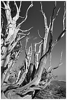 Bristlecone Pine tree squeleton, Methuselah grove. California, USA (black and white)