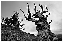 Gnarled Bristlecone Pine trees  at sunset, Discovery Trail, Schulman Grove. California, USA (black and white)