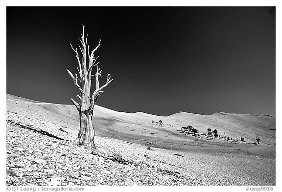 Lone Bristlecone Pine tree squeleton, Patriarch Grove. California, USA (black and white)