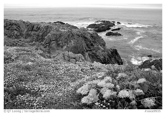 Pink iceplant and small yellow flowers on a coast bluff, Mendocino. Mendocino, California, USA (black and white)