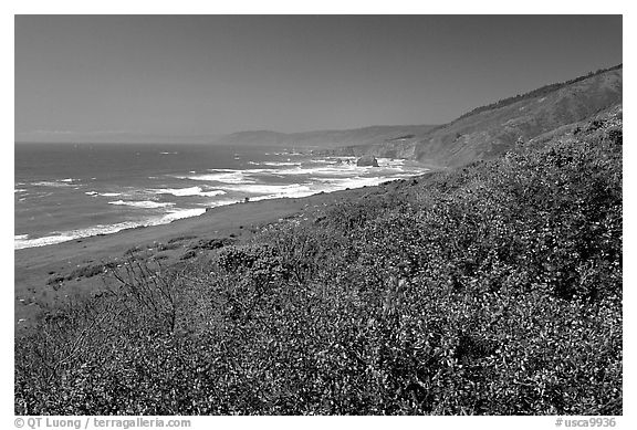 Purple wildflowers and Ocean near Fort Bragg. Fort Bragg, California, USA (black and white)