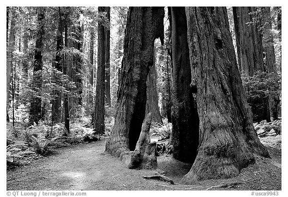 Hollowed tree, Humbolt Redwood State Park. California, USA (black and white)