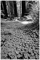 Redwood sorrel (Oxalis oreganum) and Redwoods, Humbolt Redwood State Park. California, USA (black and white)
