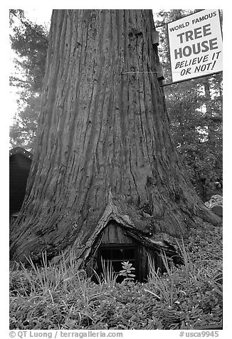 World Famous Tree House,  near Leggett. California, USA (black and white)