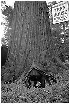 World Famous Tree House,  near Leggett. California, USA ( black and white)