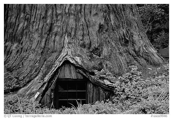 Tree House, a room inside the hollowed base of a living redwood tree,  near Leggett. California, USA
