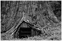 Tree House, a room inside the hollowed base of a living redwood tree,  near Leggett. California, USA (black and white)