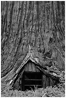 Tree House, a room inside the hollowed base of a living redwood tree,  near Leggett. California, USA ( black and white)