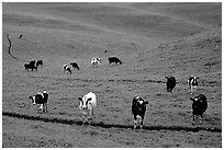 Cows in green pastoral lands. Point Reyes National Seashore, California, USA ( black and white)