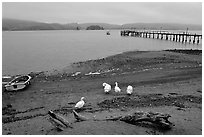 Ducks and Pier, Tomales Bay. California, USA (black and white)