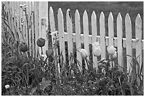 Tulips and white picket fence, Old Saybrook. Connecticut, USA (black and white)