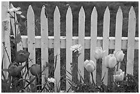 Yellow and red tulips, white picket fence, Old Saybrook. Connecticut, USA ( black and white)