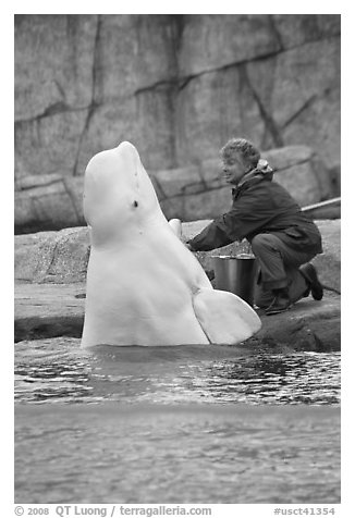 Beluga whale jumping out of water during feeding session. Mystic, Connecticut, USA (black and white)