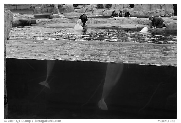 White Beluga whales feeding. Mystic, Connecticut, USA (black and white)