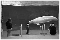 Family watches white Beluga whale swimming in aquarium. Mystic, Connecticut, USA (black and white)