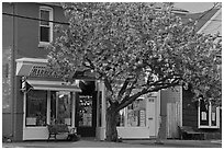 Stores and tree in bloom, Old Lyme. Connecticut, USA ( black and white)