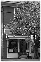 Barber shop and tree in bloom, Old Lyme. Connecticut, USA (black and white)