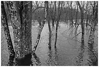 Flooded forest in winter rains, Minute Man National Historical Park. Massachussets, USA (black and white)