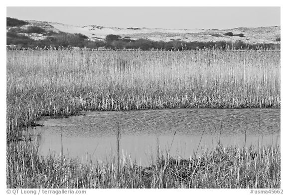 Reeds in Pilgrim Lake and parabolic dunes, Cape Cod National Seashore. Cape Cod, Massachussets, USA (black and white)
