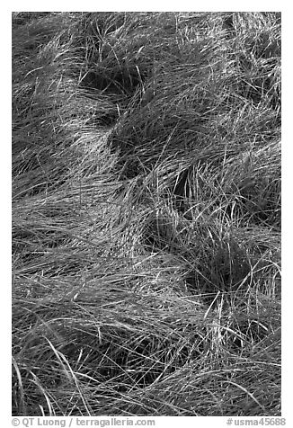 Grass curled by wind, Cape Cod National Seashore. Cape Cod, Massachussets, USA (black and white)