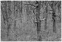 Bare forest with dense understory, Cape Cod National Seashore. Cape Cod, Massachussets, USA (black and white)